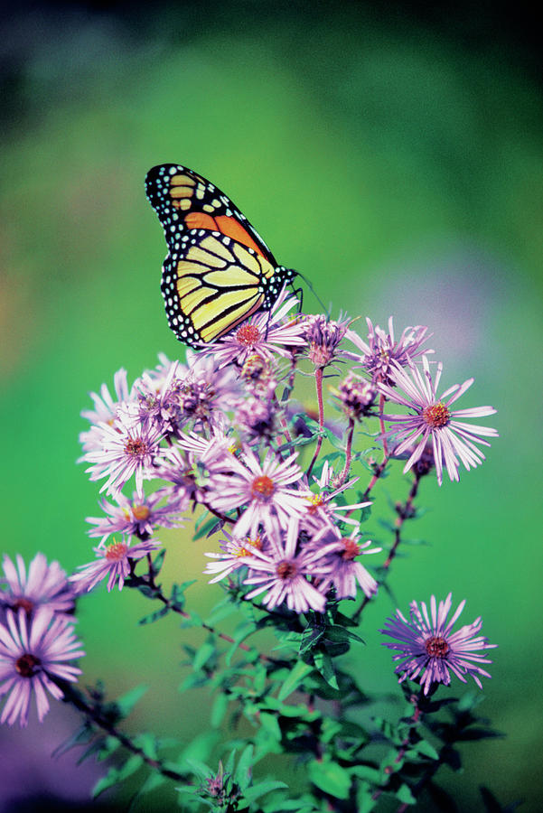 Vertical Photograph - Close-up Of A Monarch Butterfly (danaus Plexippus ) On A Perennial Aster by Medioimages/Photodisc