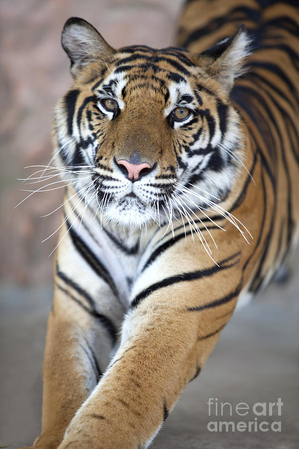 close up of a young tiger s face photograph by anek suwannaphoom