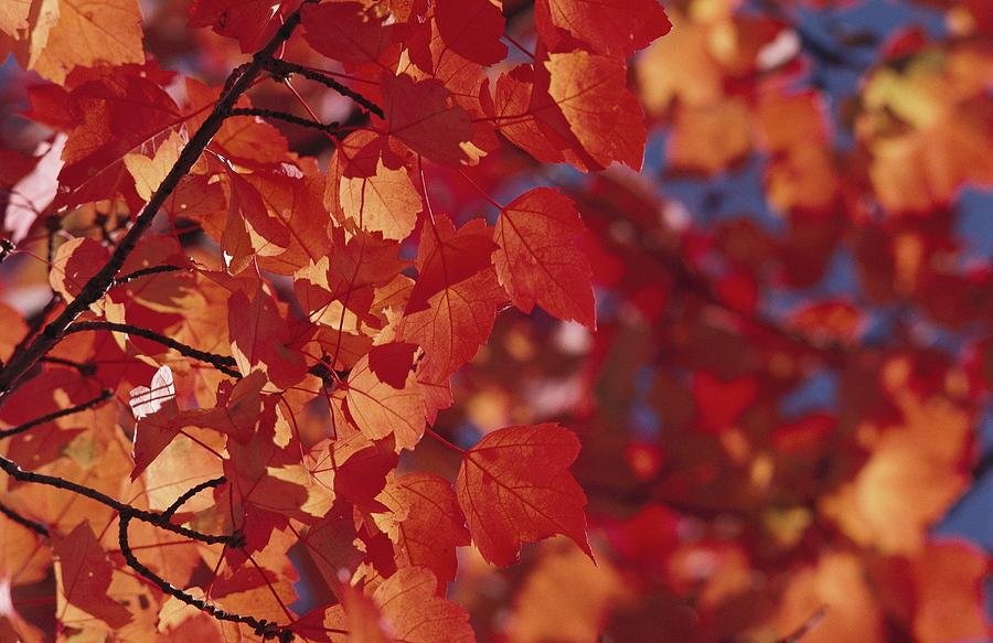 North America Photograph - Close-up Of Autumn Leaves by Raymond Gehman