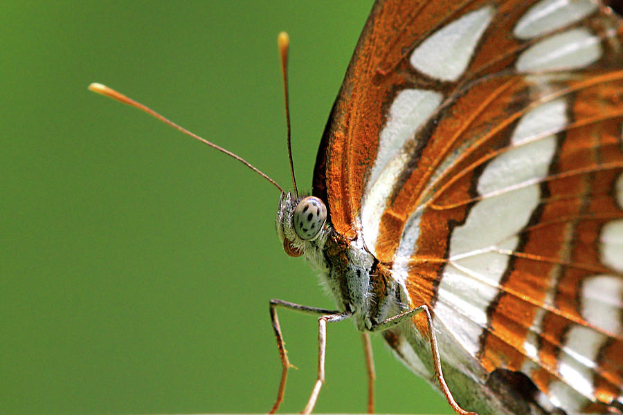 Horizontal Photograph - Close Up Of Butterfly by Annemarie van den Berg