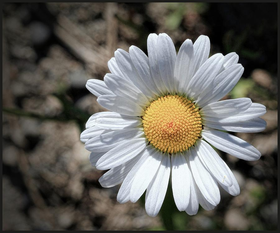 close up of daisy photograph by sanders photography, Beautiful flower