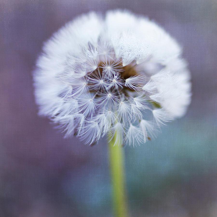 Square Photograph - Close Up Of Dandelion Flower by Pamela N. Martin