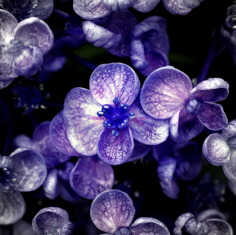 Horizontal Photograph - Close Up Of Purple Flowers by Sner3jp