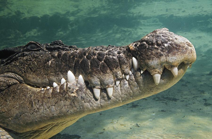 Close-up Of Saltwater Crocodile Photograph