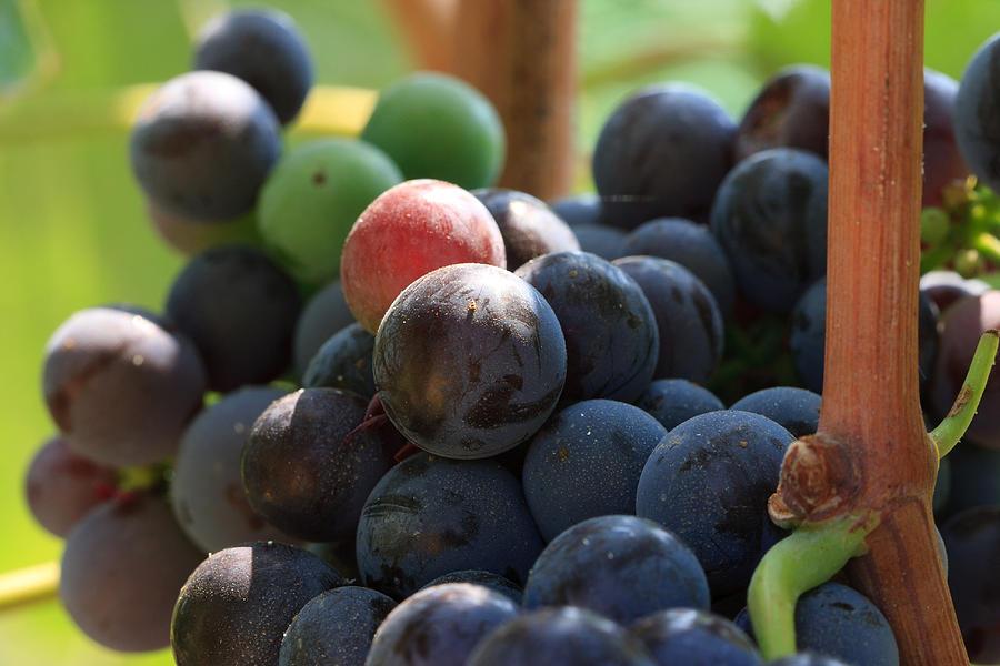 Vegetation Photograph - Close Up Of Wine Grapes by Dina Calvarese