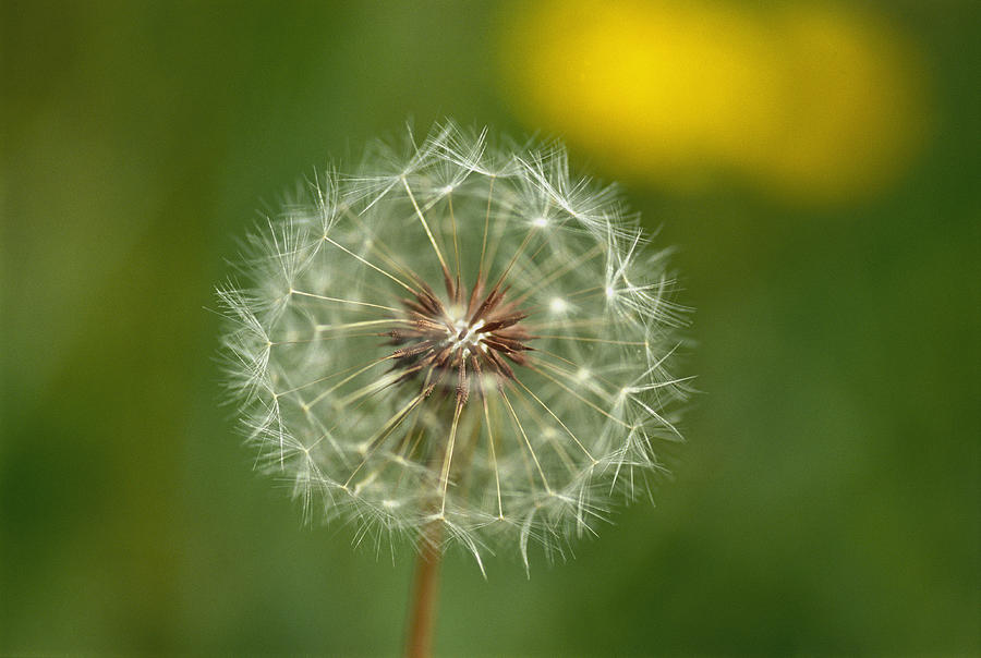 Plants Photograph - Close View Of A Dandelion Gone To Seed by Nicole Duplaix