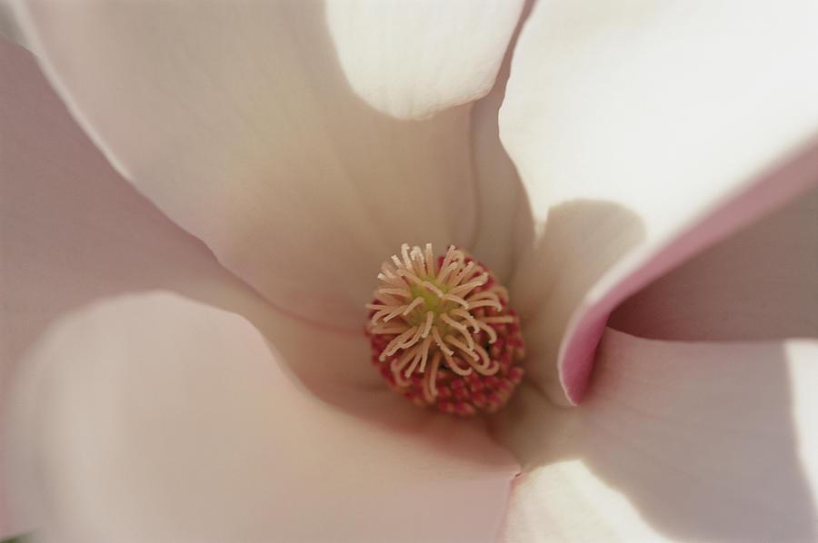 Plants Photograph - Close View Of A Magnolia Blossom by Darlyne A. Murawski