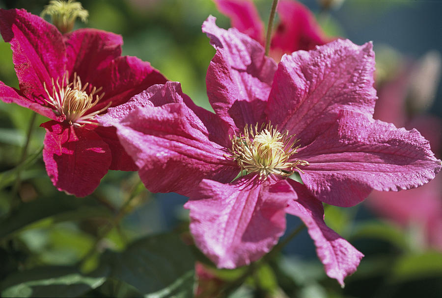 Plants Photograph - Close View Of Clematis Flowers by Darlyne A. Murawski