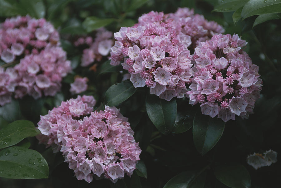 North America Photograph - Close View Of Flowering Mountain Laurel by Darlyne A. Murawski