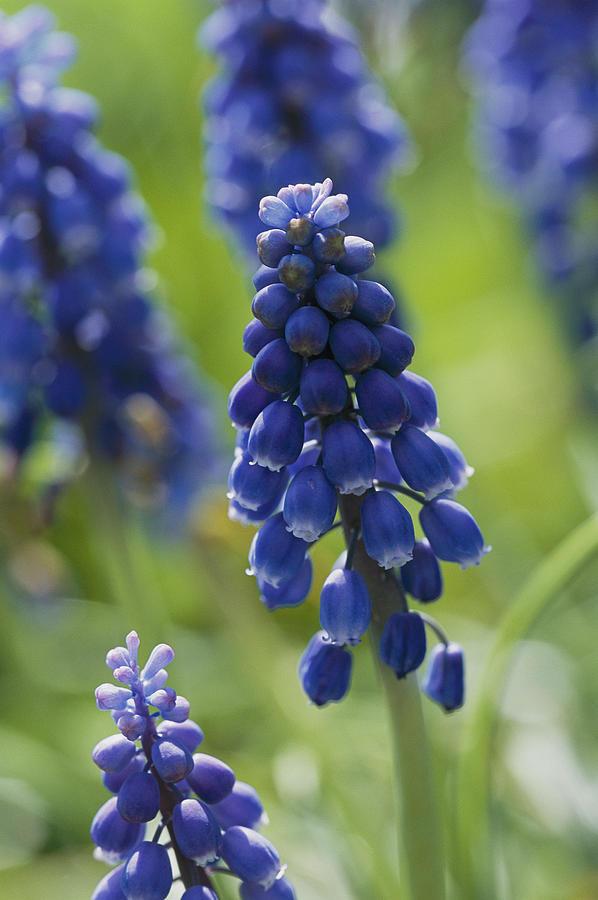 Plants Photograph - Close View Of Grape Hyacinth Flowers by Darlyne A. Murawski