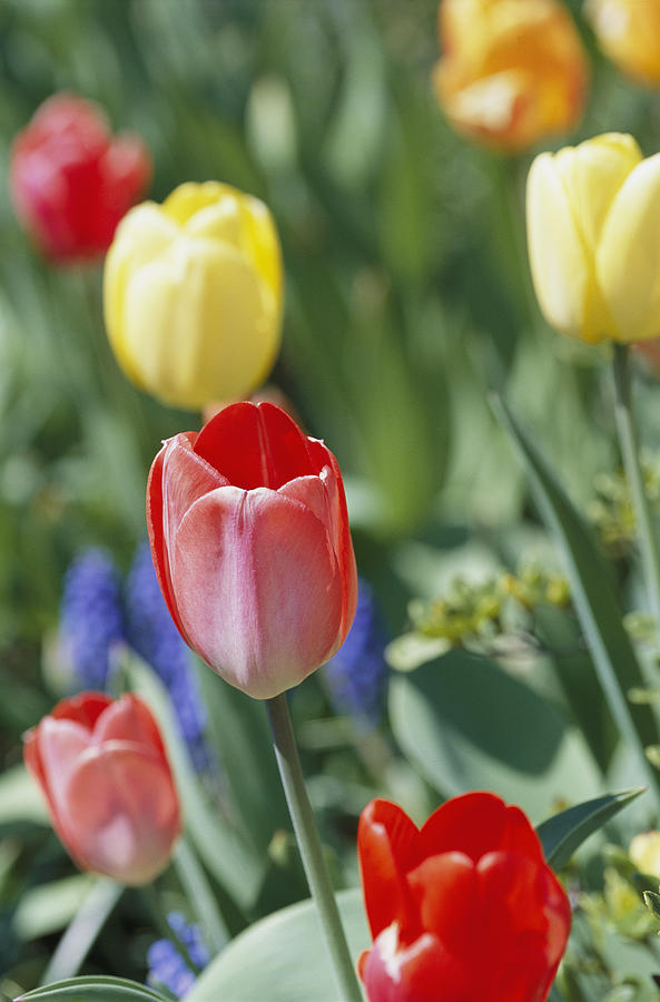 Plants Photograph - Close View Of Spring Tulips In Bloom by Darlyne A. Murawski