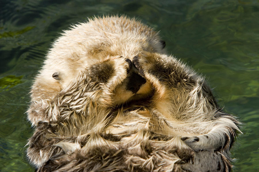 Anthropomorphism Photograph - Closeup Of A Captive Sea Otter Covering by Tim Laman
