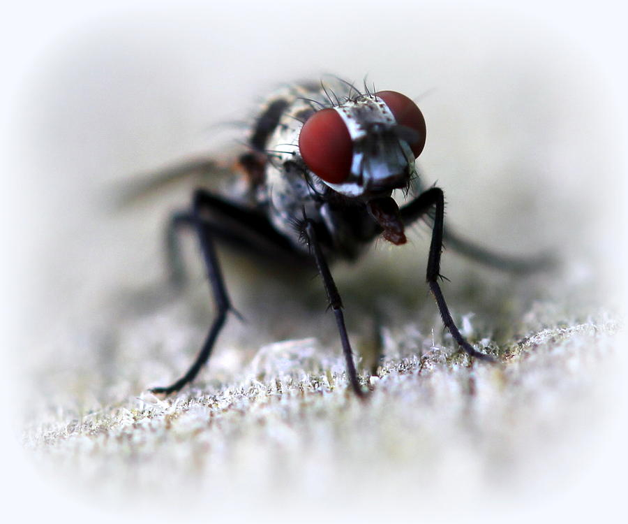 Fly Photograph - Closeup Of A Fly  by Maureen  McDonald