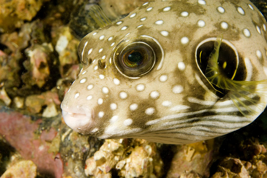 White Spotted Puffer Fish Photograph - Closeup Of A White Spotted Puffer Fish by Tim Laman