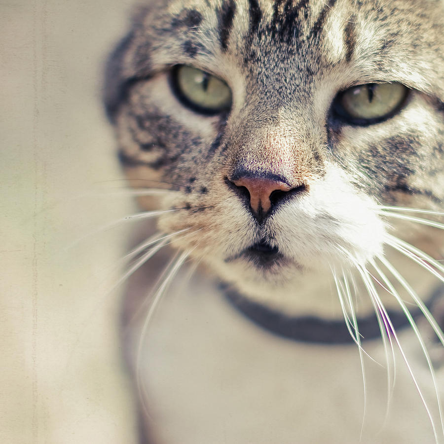 Square Photograph - Closeup Of Face Of Tabby Cat by Cindy Prins