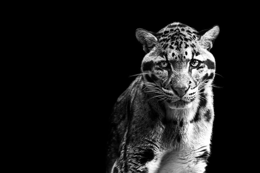 Horizontal Photograph - Clouded Leopard by Malcolm MacGregor