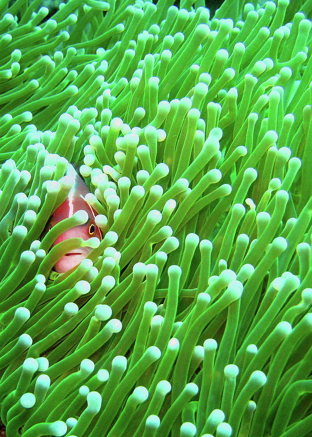 Vertical Photograph - Clown Fish by Perry L Aragon