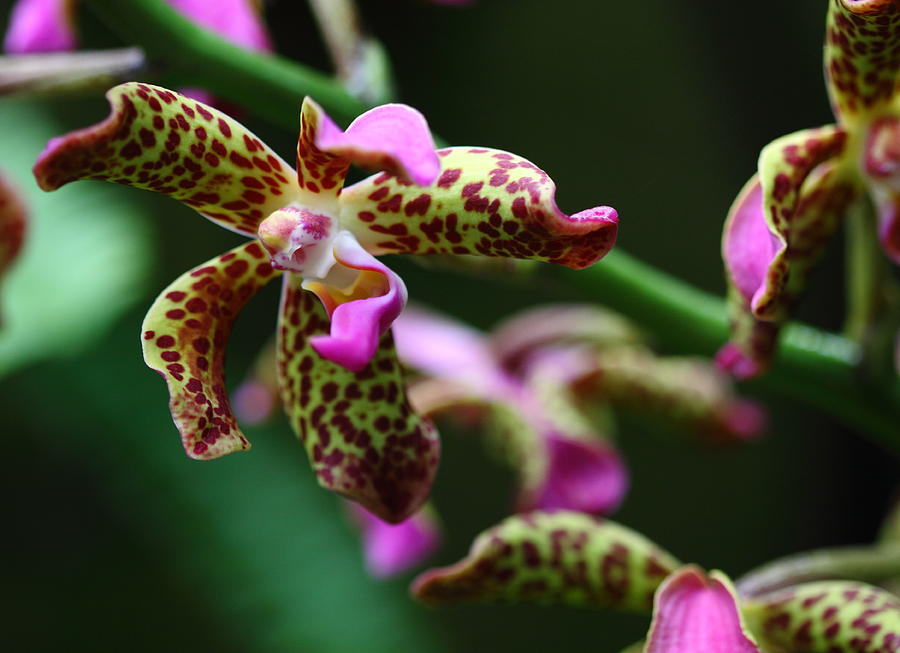 Flower Photograph - Clown Orchid by Paul Slebodnick