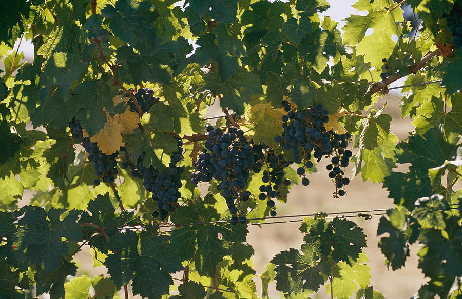 North America Photograph - Clusters Of Grapes Hanging From Vines by Michael S. Lewis