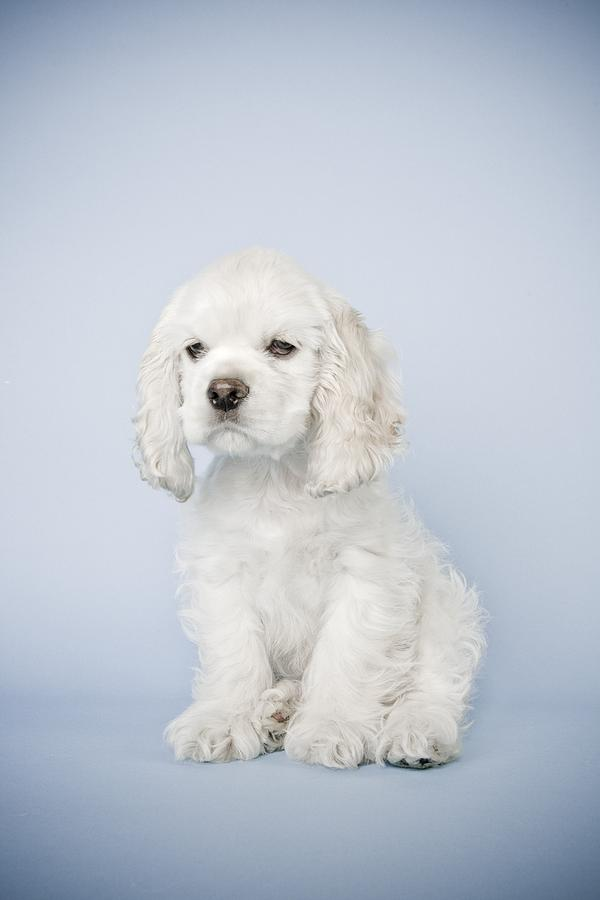 Dogs Photograph - Cocker Spaniel by David DuChemin