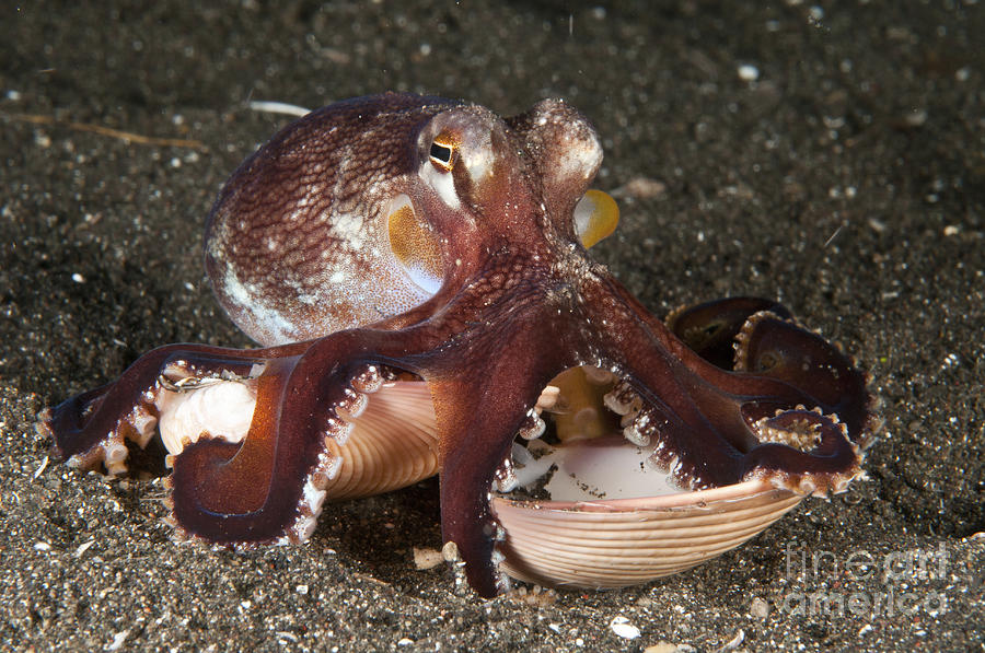 Coconut Octopus Carrying A Clam Shell Photograph by ...