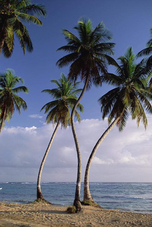 Coconut Palm Cocos Nucifera Trees Photograph by Konrad Wothe