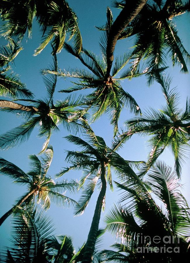 Coconut Palm Photograph - Coconut Palms by Magrath Photography