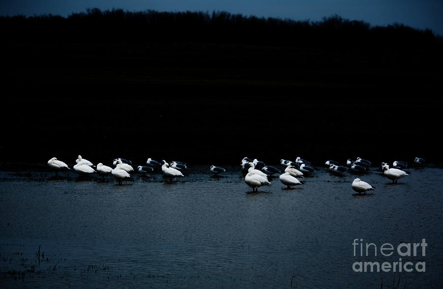 Ross's Geese Photograph - Cold Duck by Lisa Holmgreen