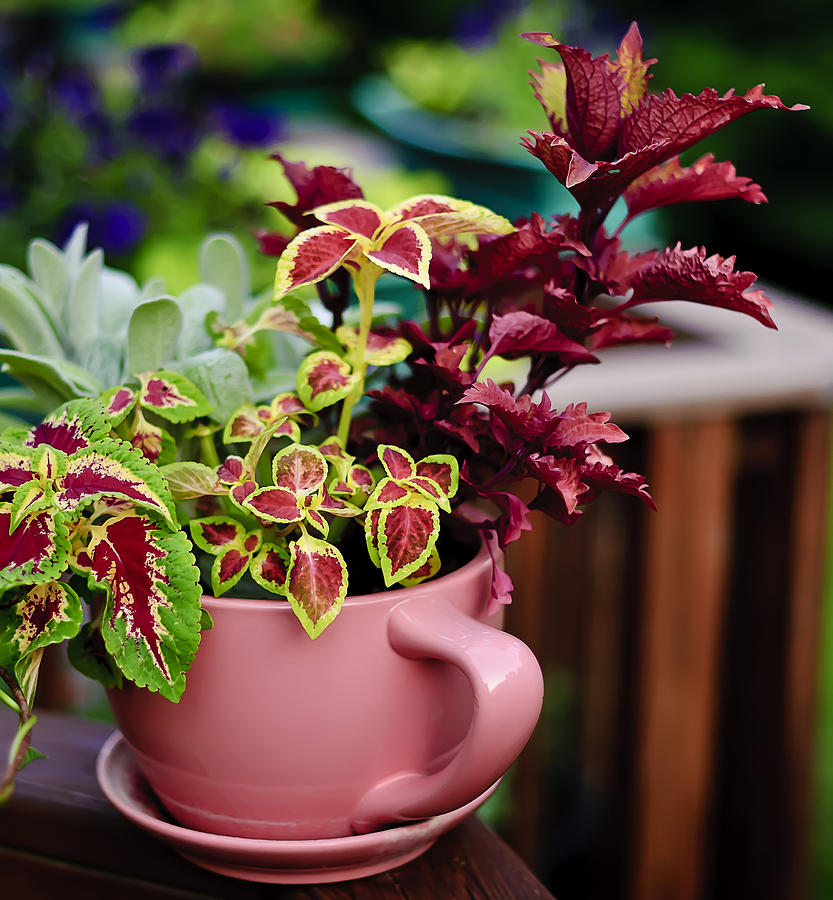2010 Photograph - Coleus Collection by Michael Putnam