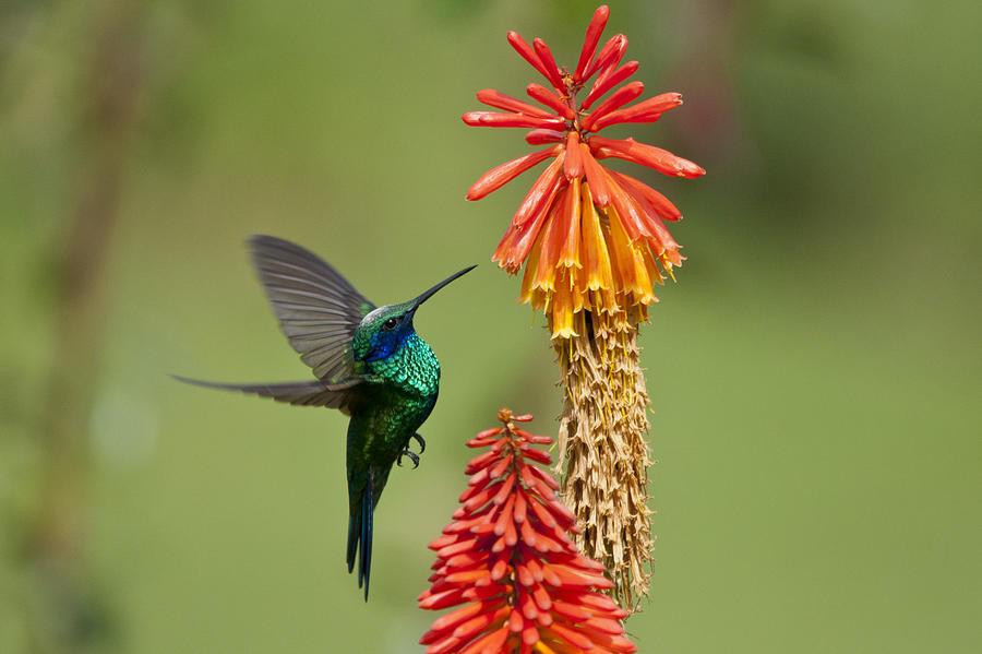 Horizontal Photograph - Colibri Coruscans by Photo by Priscilla Burcher