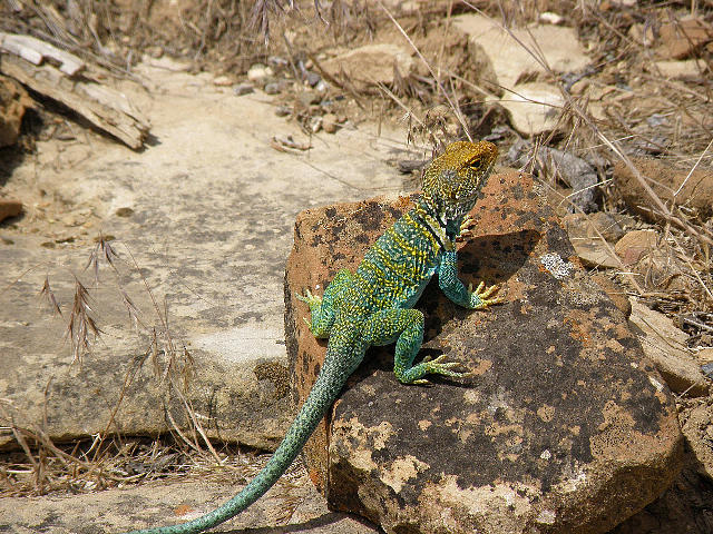 Lizards Photograph - Collared Lizard by Feva  Fotos
