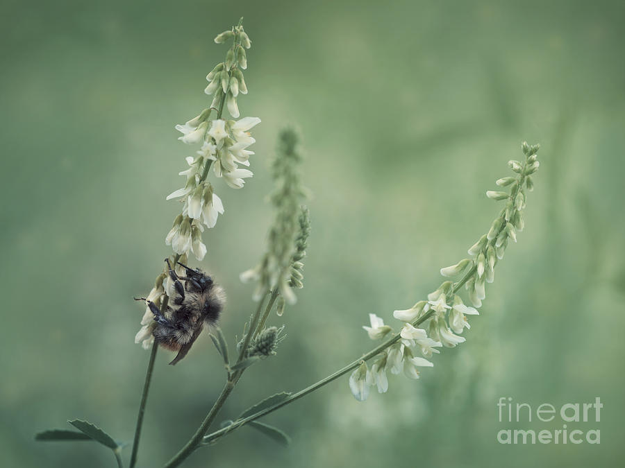 Sweet Clover Photograph - Collecting The Summer by Priska Wettstein