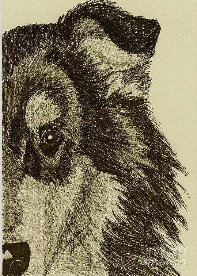 Collie Drawing - Collie by Susan Herber