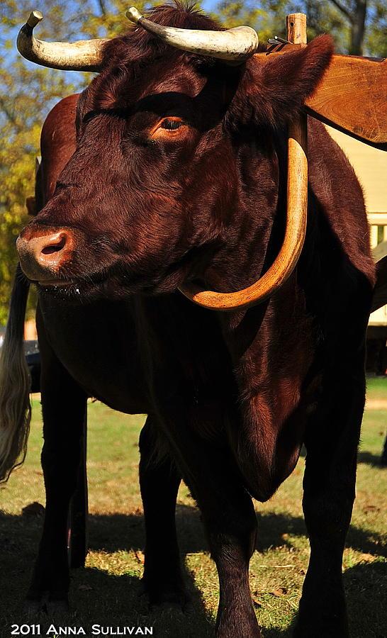 Oxen Photograph - Colonial Williamsburg Ox  by Anna Sullivan