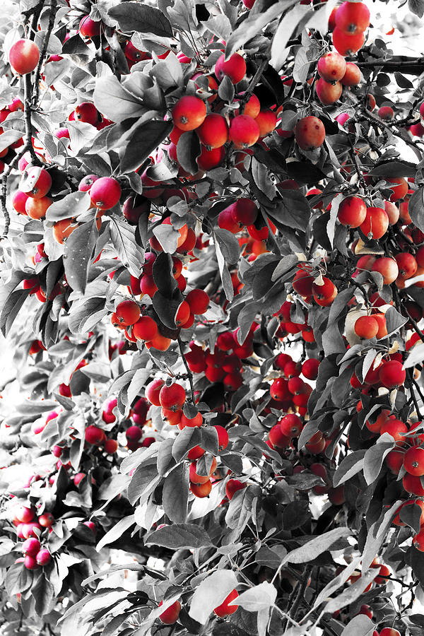 Apples Photograph - Color Of Apples by Matt Lewis