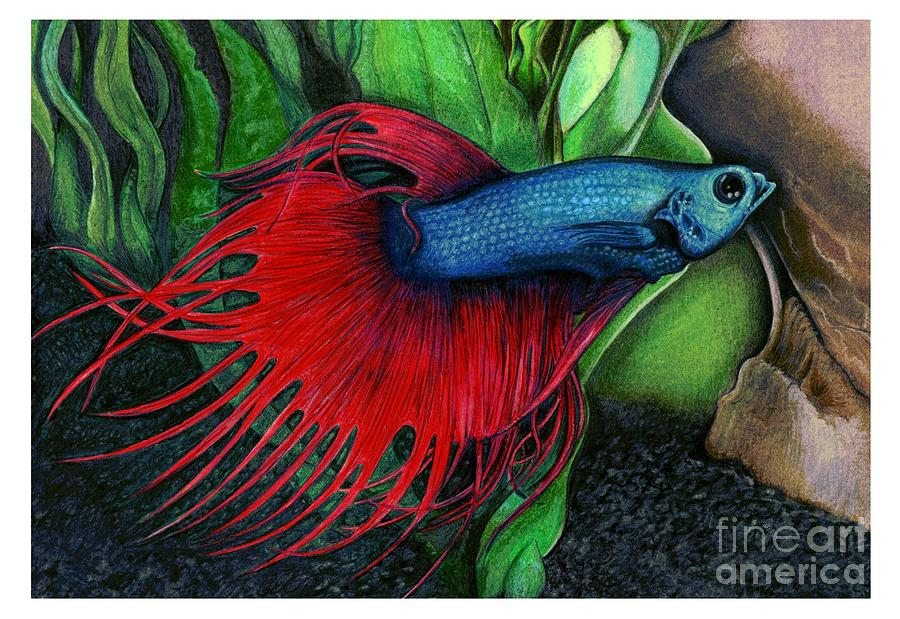 Color Pencil of a Siamese Fighting Fish by Debbie Engel