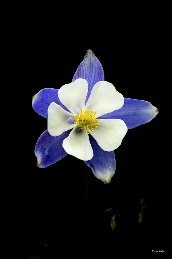 Blue Photograph - Colorado Columbine by Darryl Gallegos