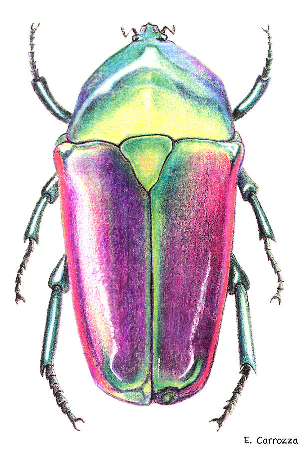 colored beetle drawing by elizabeth carrozza
