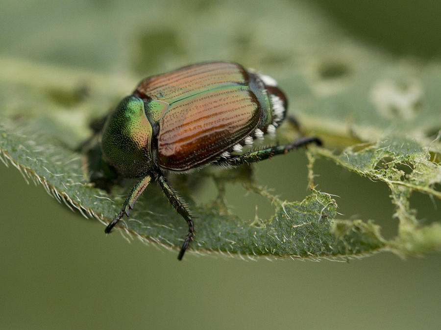 Japanese Beetle Photograph - Colorful Armor by Dean Bennett