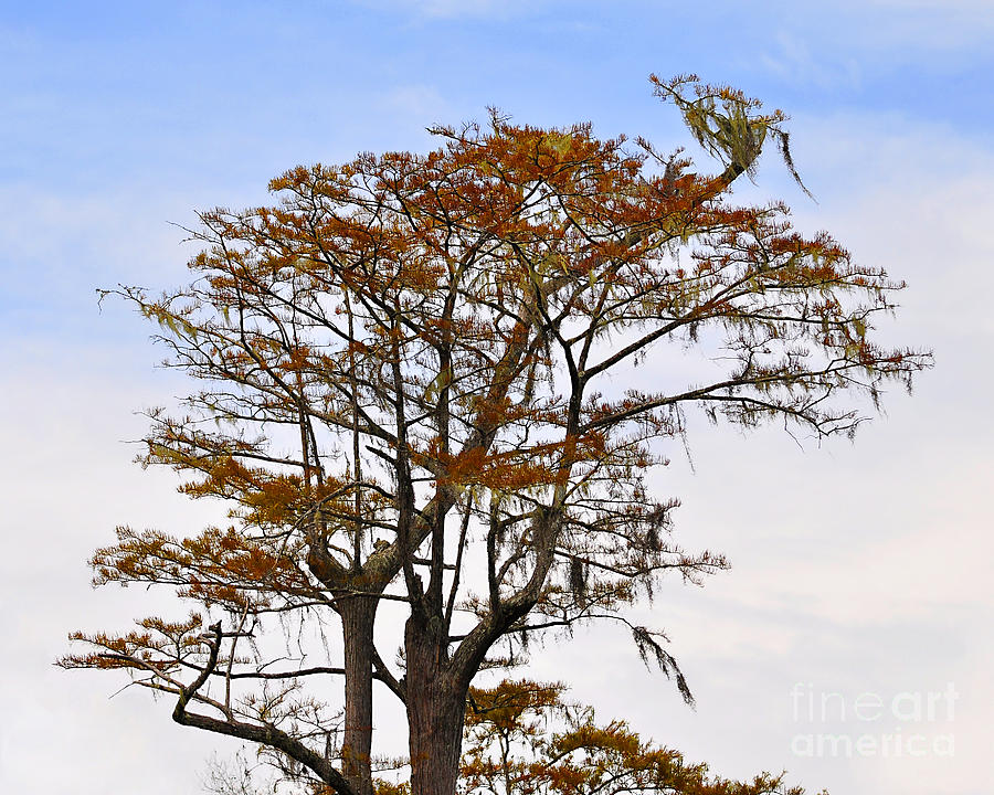 Cypress Photograph - Colorful Cypress by Al Powell Photography USA