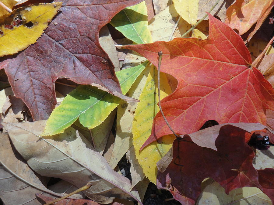 Colors Photograph - Colorful Fall Leaves by Kathy Lyon-Smith