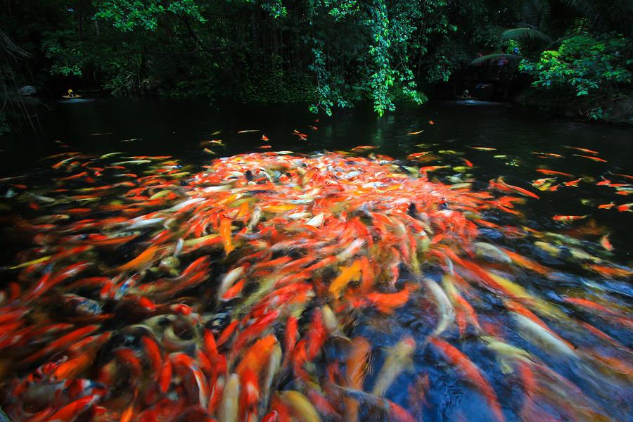Colorful koi or carp photograph by nathaporn tunthong for Koi carp colours