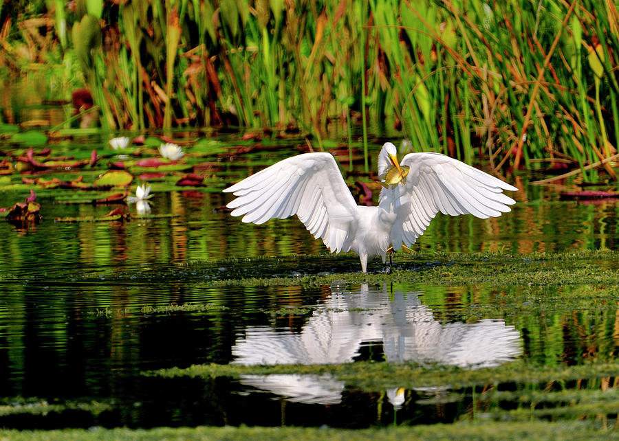 Great White Egret Photograph - Colorful Morning At The Wetlands by Bill Dodsworth