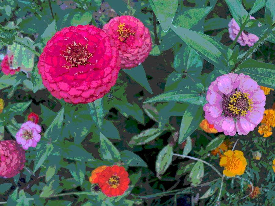 Zinnia Flower Photograph - Colorful Zinnia Flowers by Padre Art