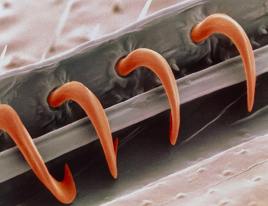 Honey Bee Photograph - Coloured Sem Of Hamuli Of Honey Bee Wing by Power And Syred