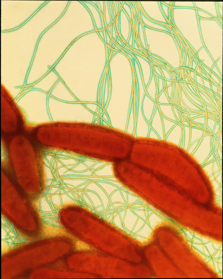 Escherichia Coli Photograph - Coloured Tem Of Escherichia Coli Bacteria by Dr Kari Lounatmaa