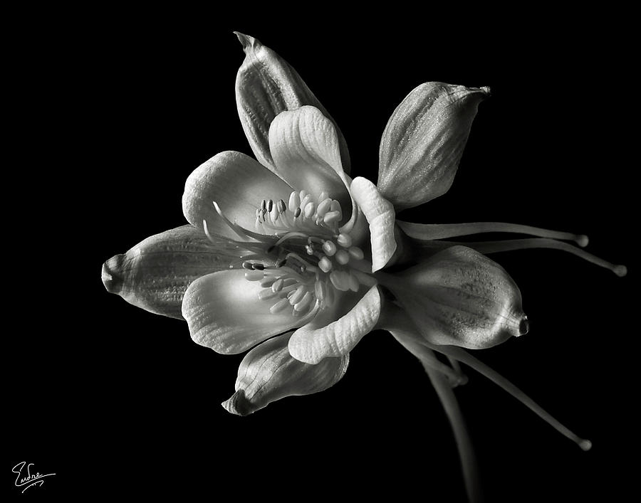 Flower photograph columbine in black and white by endre balogh