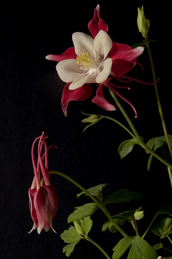 Columbine on Blalck  by Philip Clift