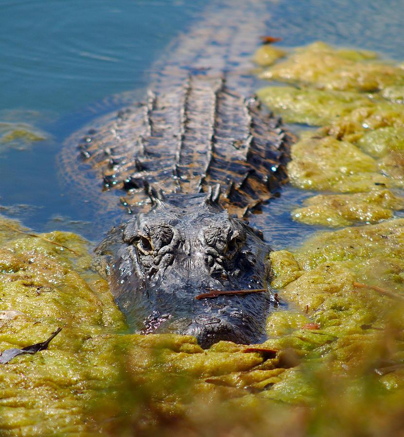 Alligator Photograph - Come Closer by Luis Esteves