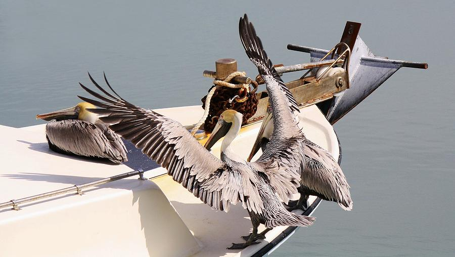Pelican Photograph - Coming Aboard by Paulette Thomas